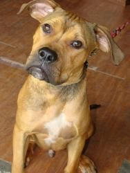 GROMIT is an adoptable Boxer Dog in Greensboro, NC. Gromit is Wallace's pet dog and also is generally more intelligent than Wallace. His birthday is 12 February.  Gromit graduated from 'Dogwarts Unive...