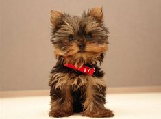 These 10 Yorkshire Terriers will melt your heart and keep you smiling all day long. #yorkshireterrier