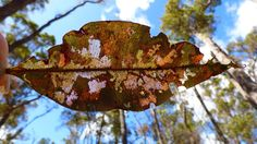 Photo of the Week - Semi-eaten Eucalypt leaf