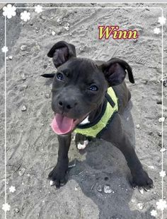 Meet WINN DIXIE, an adoptable Pit Bull Terrier looking for a forever home. If you're looking for a new pet to adopt or want information on how to get involved with adoptable pets, Petfinder.com is a great resource.