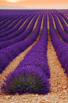 Lavender field by Tomáš Vocelka by elle.coetzee.5