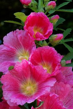 タチアオイ / Althaea rosea       I love the Althaea......mine are pale pink.....bloom most of summer and greet you summer after summer.....:-}