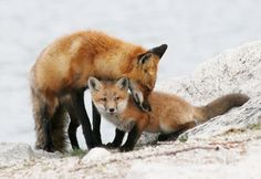 Red Foxes by Mary Lee Agnew