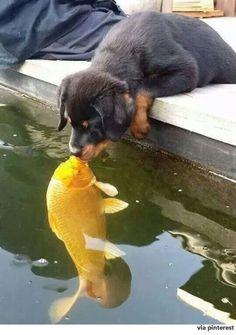 해외 소셜 미디어에서 네티즌들의 인기를 얻은 사진이다. 강아지와 물고기 한 마리가 입을 맞추고 있다. 노란색 몸통이 인상적인 물고기는 잉어로 추정된다. ...