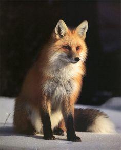 The Magickal Fox as a Totem Animal