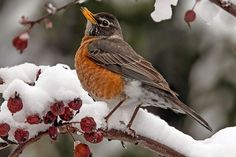 State Bird of Connecticut - American Robin