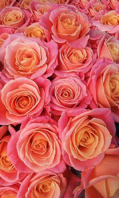 roses by Vladimir Curcin on YouPic