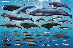 Whales Poster. Had this exact one when  I was little!