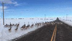 Antelope running down the highway https://gfycat.com/LividTightKiwi