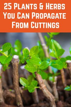 Have you got a favorite herb, flower, bush, shrub, tree or houseplant that you'd love another one of? Then see if you can propagate it from cuttings. Here's 25 that you can propagate from cuttings and how to do it. Plant Cuttings, Propagation, Growing Herbs, Growing Vegetables, Gardening For Beginners, Gardening Tips, Organic Gardening, Shade Garden, Garden Plants