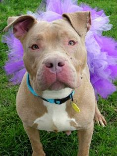 Petango.com – Meet Arizona 112, a 3 years Terrier, American Pit Bull / Mix available for adoption in CLEVELAND, OH