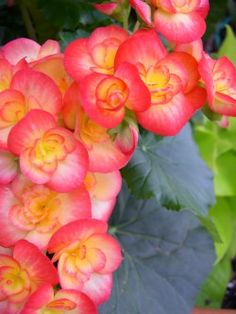 begonias pictures with names | Begonia Care - Tuberous Begonia Hybrids
