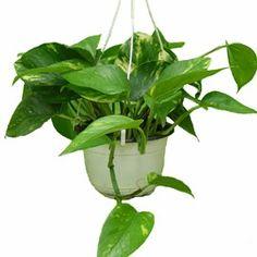 Plante grimpante d'intérieur très dépolluantes. Idéale dans les bureaux. Plante dépolluante.