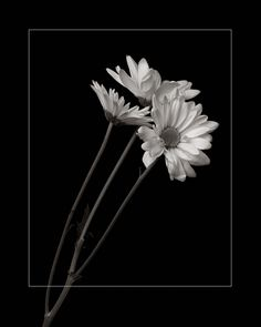Black and white daisy images - Flower images, black daisy flower gardeningwallpaper images white 824158800544294639 Daisy Wallpaper, Dark Wallpaper Iphone, Black Background Wallpaper, Black And White Wallpaper, Cute Wallpaper For Phone, Painting Wallpaper, Galaxy Wallpaper, Retro Wallpaper, Black Aesthetic Wallpaper