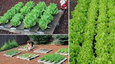Pestovanie listovej zeleniny v palete