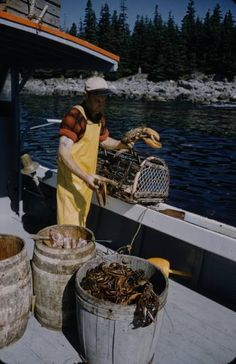 pulling up boat-loads of lobsters