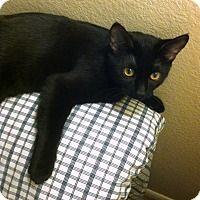 Adopt A Pet :: Nicodemous - Special Needs - Gilbert, AZ. FeLV+