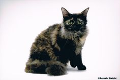 An introduction to the LaPerm breed Laperm, Cat Breeds, I Love Cats, Curly Hair Styles, Fur, Animals, Cat, Animales, Animaux