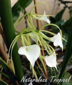 Orquídea Dama de Noche, género Brassavola