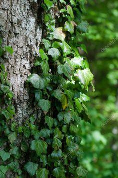 Afbeeldingsresultaat voor klimop boomstam