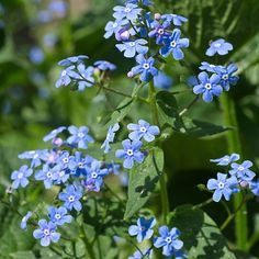Brunnera macrophylla has intensely blue flowers in May-June with huge heart-shaped leaves for all-summer groundcover.