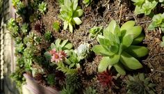Sedums & sempervivums planted in moss within a vertically hung picture frame (from the Buffalo Walk)