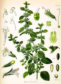 Lemon balm (Melissa officinalis) herb has many uses. Here are 10 uses on how to use lemon balm.