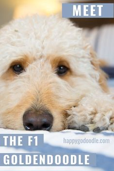 """Are you thinking about adding a Goldendoodle to your family pack and wondering what the """"F1"""" in """"F1 Goldendoodle"""" means? We've got the 4-1-1 on the F1 Goldendoodle so you can get all the details on these adorable Doodle dogs. #f1goldendoodle #goldendoodle #happygodoodle #doodledog #f1vsf1bgoldendoodle Cat Care Tips, Dog Care, Pet Tips, Poodle Mix Breeds, Dog Breeds, Goldendoodle Grooming, Standard Goldendoodle, Golden Retriever Breed, Dog Crossbreeds"""