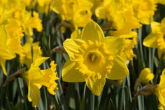 Glorious yellow daffodils at Kew Gardens