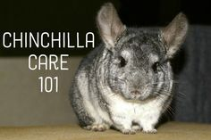 Chinchilla Care 101 - Great article on owning and caring for chinchillas.