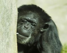 A chimpanzee is reportedly being given abusive substances at a zoo in China. Demand this disgraceful zoo be immediately shut down and the animals be freed to a sanctuary.