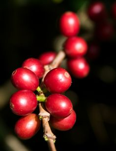 Jamaican Coffee Cherries   Order your Jamaican coffee at   www.gloversgrind.organogold.com