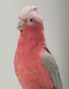 Beautiful pink Galah : guava : bird