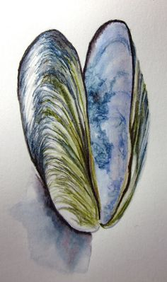 Mussel shell -- original watercolour pencil drawing #pencil #mussel #shell #line #drawing