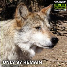 The Mexican Gray Wolf desperately needs our help! If no one will stand up for their survival, who will?