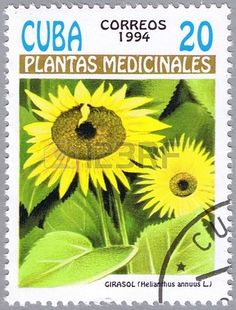 Helianthus annuus or Sunflower, series is devoted to medicinal plants,stamp printed in Cuba, circa 1994
