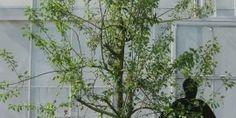 Reine Claude Verte oude pruimenboom