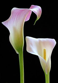 Calla Lily, my all time favorite.