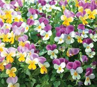 Top 10 Winter Bedding Plants | Thompson & Morgan