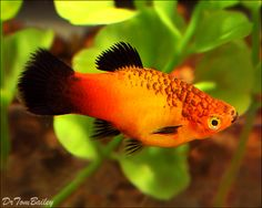 Black and Orange Platy.  I call them the mustache mafia cause they all have the spots on the lips -