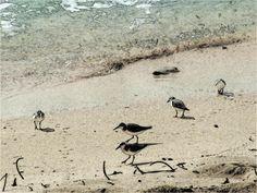 Shore Birds, Barbados