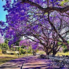 The University of Queensland is rolling out the purple carpet for Barack Obama's visit on Saturday.
