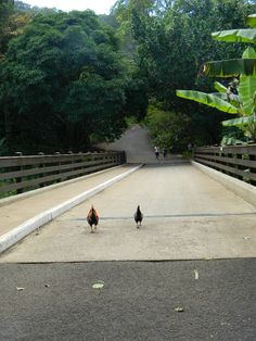 Roosters walking down the path.