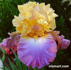 Heavenly Encore tall bearded iris (2012 wish)