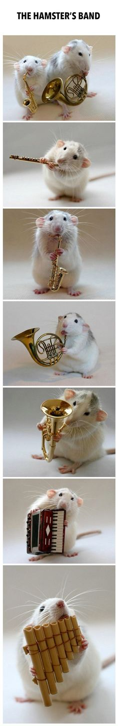 Introducing The Hamster Band! (except they're rats....very cute but still pinterest get your facts straight)