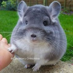 Chinchillas breeder