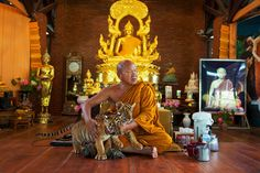 """Bouw nieuwe Thaise tijgerattractie nadert voltooiing.Phra Acham Phoosit (Chan) Kanthitharo is de abt van de Tiger Temple. op deze foto speelt hij met twee tijgerwelpjes. Het nieuwe rapport suggereert dat het klooster de tijgers """"razendsnel fokt"""""""