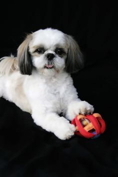 Pictures of Shih Tzu Dog Breed