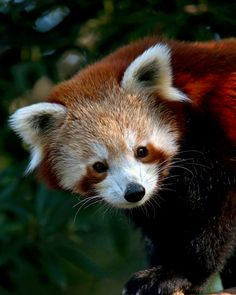 Spotted!  They're sometimes hard to see, but one of our red panda's at Melbourne Zoo can still be seen along small cats row.  So come along and see if you can spot him!