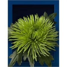 Chrysanthemum Blooms Siara are a green, disbudded, single headed cut flower variety. 75cm tall & wholesaled in 10 stem wraps.